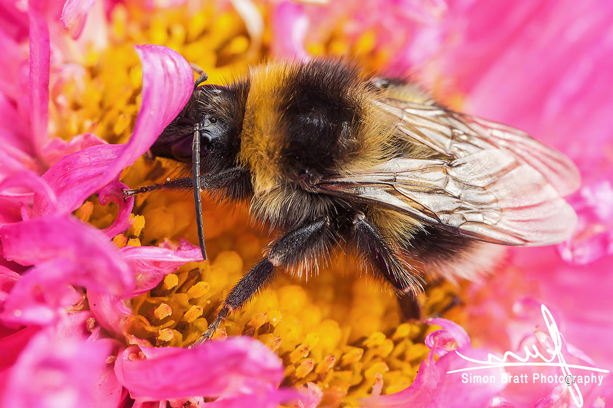 White-tailed bumblebee macro sat on a pink Aster by Simon Bratt - Canon 5dMk2, 100mm Canon macro lens, f9, 1/50, ISO800, Handheld Image Stabilised