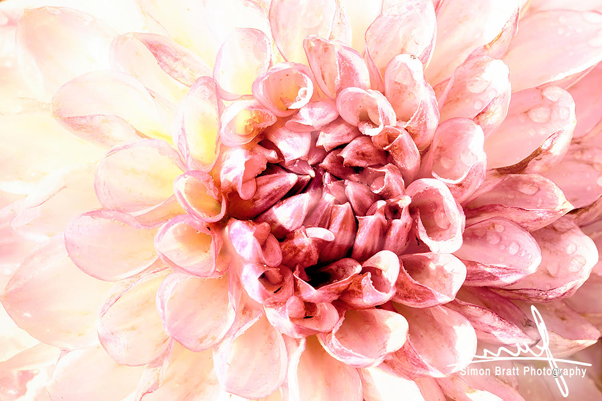 Stunning pink Dahlia flower head close up - Canon 5Dmk2, Canon 100mm Macro Lens, f16, 1/60, iso 400 Handheld Image Stabilised