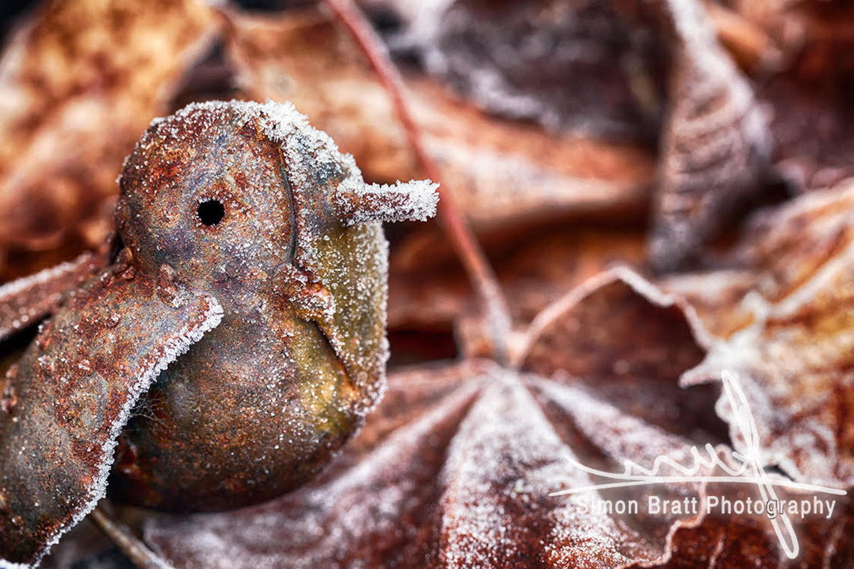 Robin in frosty leaves close up - Canon 5Dmk2, Canon 100mm Macro, f6.3, 1/15, iso 100 on a Tripod