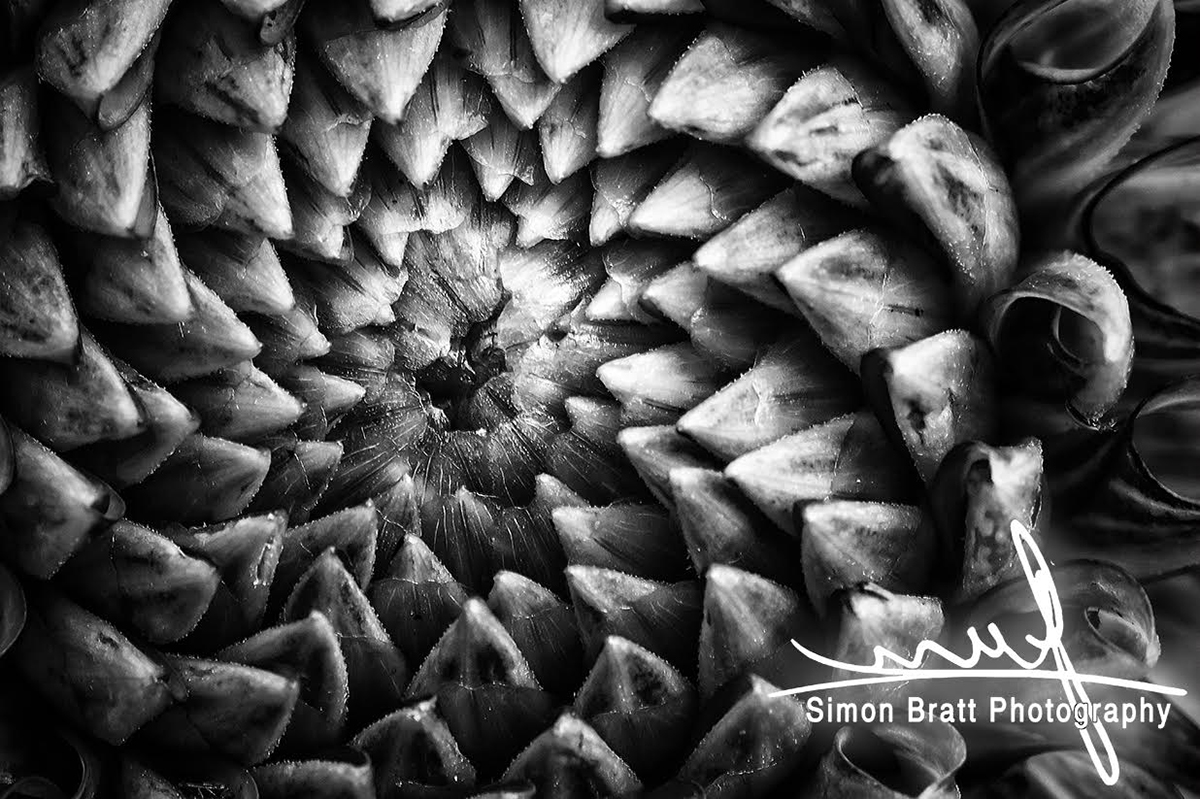 Monochrome Dahlia flower head pattern - Canon 5Dmk2, Canon 100mm Macro, f11, 1/50, iso 800 Handheld Image Stabilised