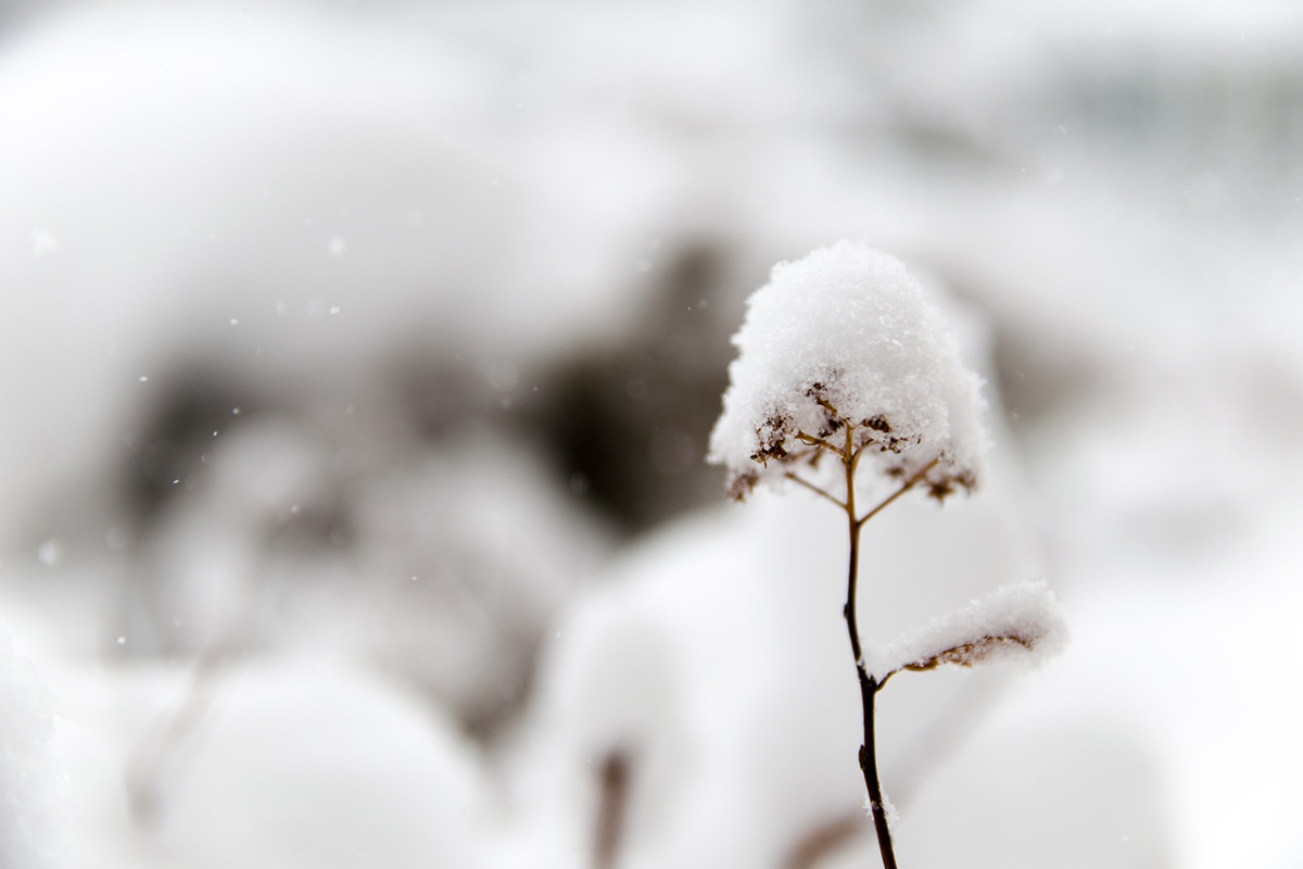 Close up of flower covered in snow | Photo: Hide Obara