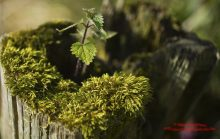 Nettle in the wood