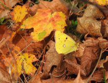 Clouded Yellow & autumn leaves