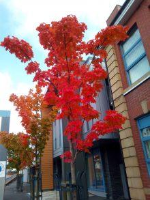 Canadian Maple Autumn