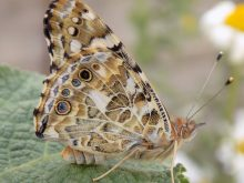 Underwing painted lady