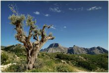 Olive Tree in Mountains