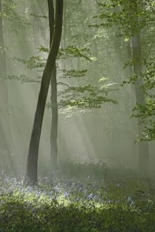 Sunbeams and Bluebells